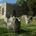 Jacob Sheep in Church grounds
